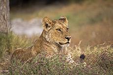 abgekämpfte Löwin