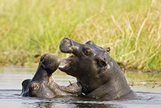 Hippos beim Spielen